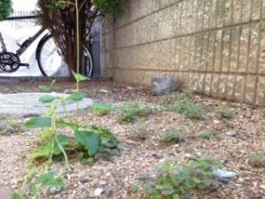 「雑草すら生えない」と揶揄されていた海運堂の庭。何を焦ったのか雑草が生えてきました